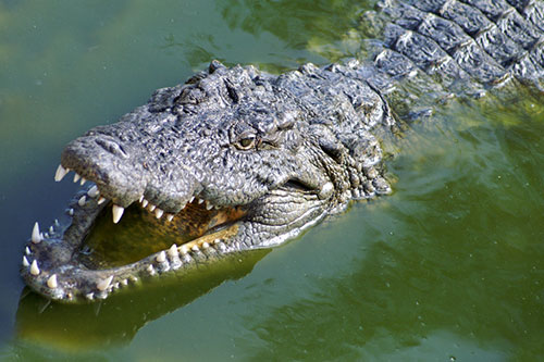An alligator in green water with its mouth open.