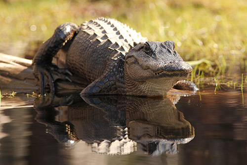 Alligator Safety Tips
