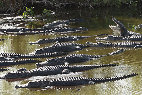 Alligator Facts: A group of alligators is known as a congregation.