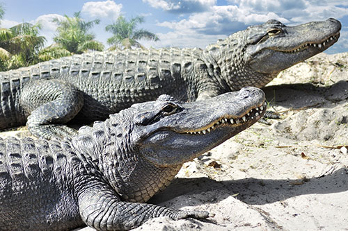 Two sunbathing American Alligators.