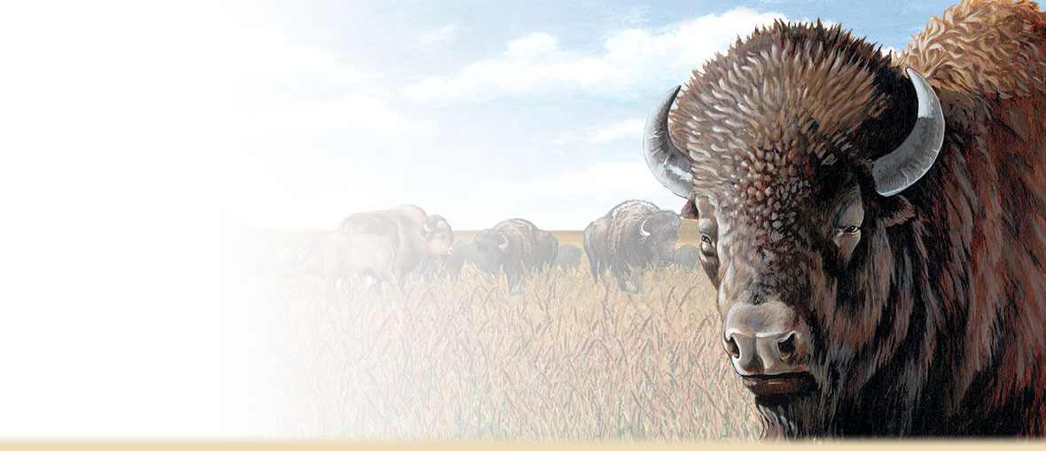 American Bison Facts, Trivia, Information, Photos, and Habitat.