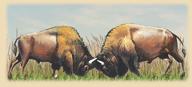 Artwork of two American Bison butting horns during the rut.