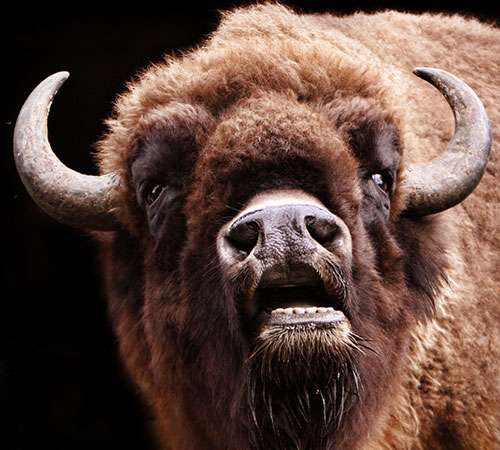 American Bison Facts: Close up photograph of a bison's head.