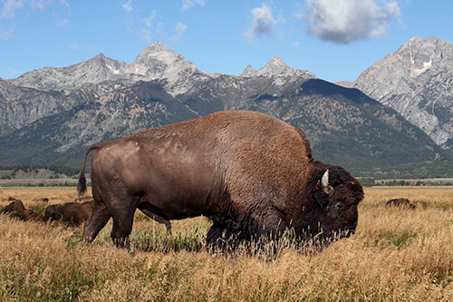A bison in a golden field grazing on grass, in front of mountains.