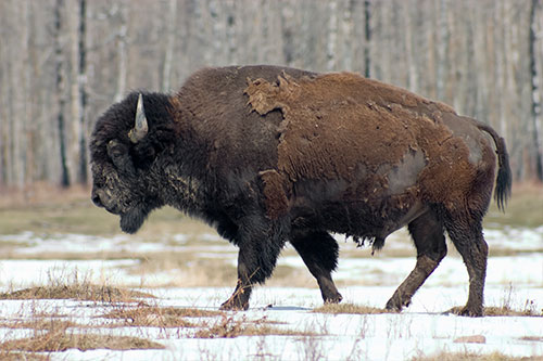 American Bison Habitat: A bison walking through a snow covered field.
