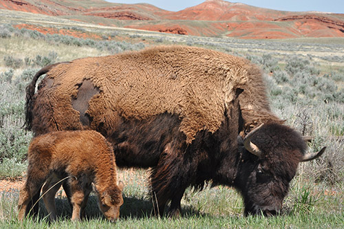 A bison with a calf.