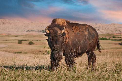 A bison in front of a dramatic sky.