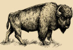 A rough sketch of an American Bison