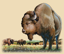 An American Bison standing in a field with other bison.