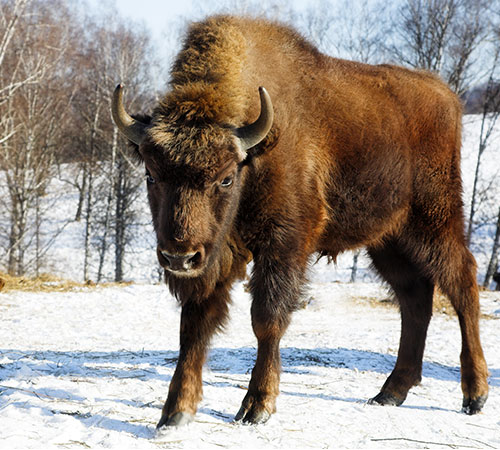 American Bison Pictures: Front view of a bison in the snow.