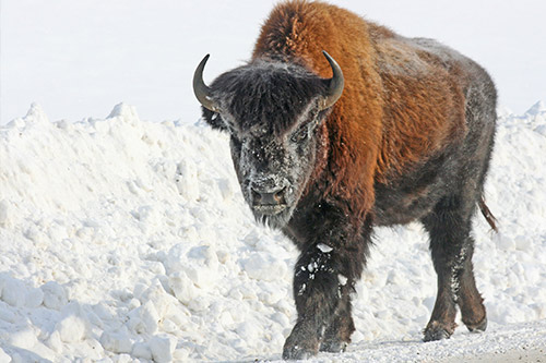 American Bison Photos: Large American bison in the snow
