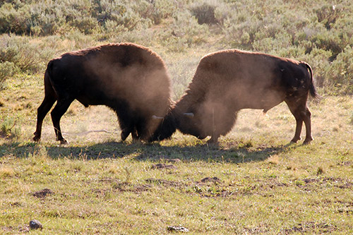 American Bison Behavior: Two bison bulls fighting
