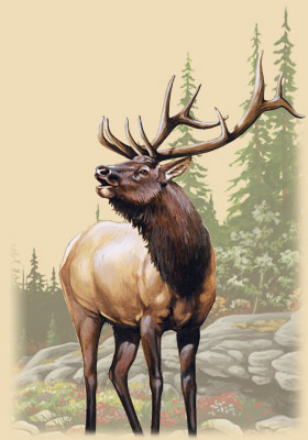 American Elk Artwork: Big bull elk bugling into the wilderness.