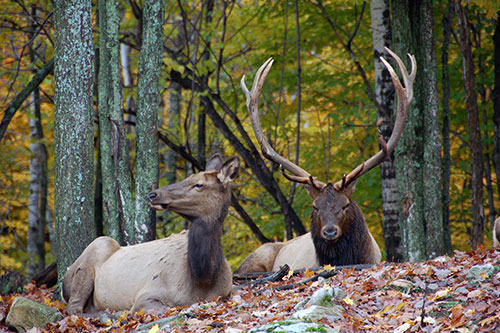 American Elk Information: A pair of American elk resting on the forest floor.
