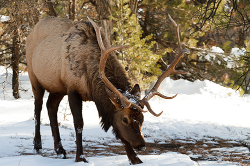 An American bull elk sitting in the snow.