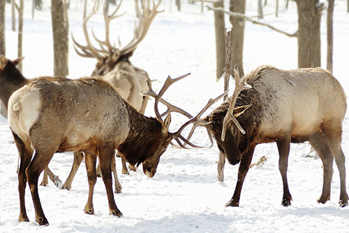 Two bull elk fighting in the snow.
