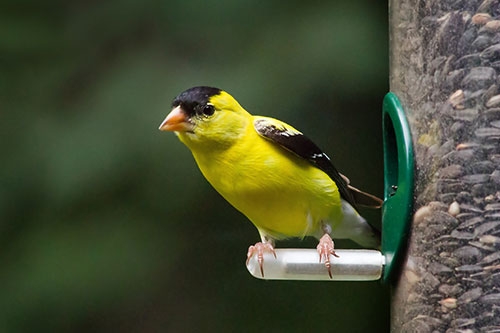 An American Goldfinch at a birdfeeder.