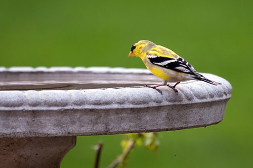 American Goldfinch Photos: An American Goldfinch at a bird bath.