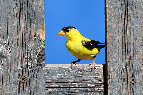 American Goldfinch Photos: An American Goldfinch perched between two fenceposts.