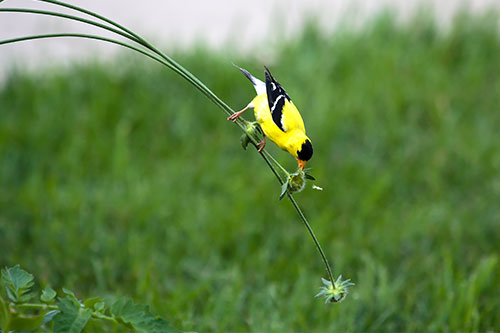American Goldfinch Facts: An American Goldfinch hanging from a flower to get some seeds.