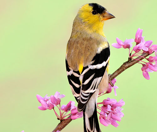 American Goldfinch Information: An American Goldfinch on a branch with purple flowers.