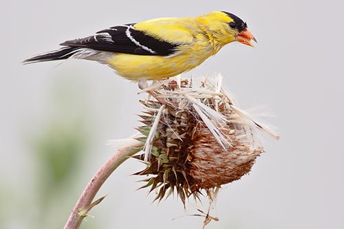 American Goldfinch Facts: An American Goldfinch pulling seeds from a seedhead.