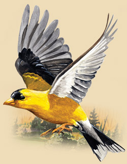 Painting of an American Goldfinch flying.
