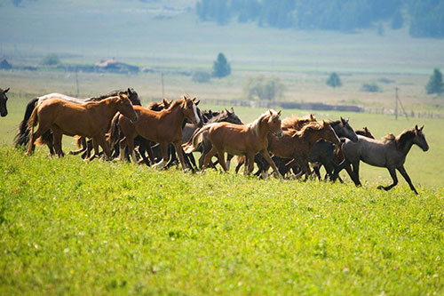 A herd of mustangs on a ranch.