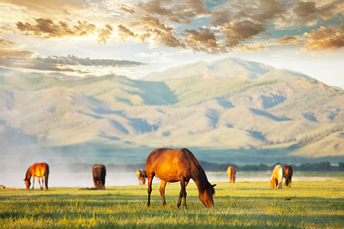 A herd of mustangs grazing in front of a mountain scene.