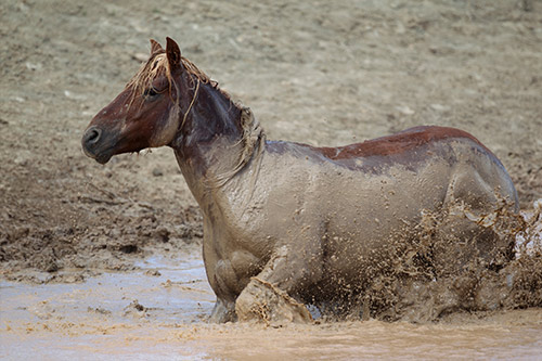 Wild Mustang Running Through Mud.