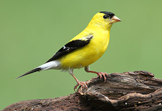 Photo of an American Goldfinch on a green background.