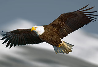 Photo of a bald eagle flying.
