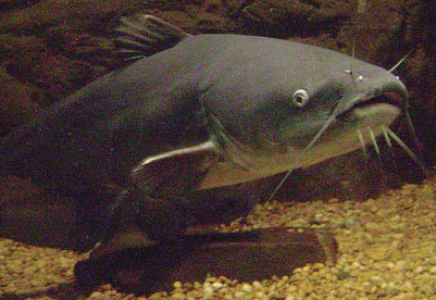 Photo of a Blue Catfish