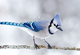 Photo of a blue jay.