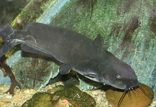 Image of a Channel Catfish.