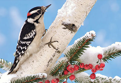 Photo of a Downy Woodpecker