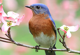 A photo of an eastern bluebird