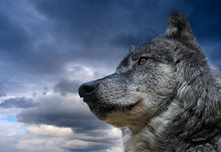 Photo of a gray wolf in front of a dramatic sky.