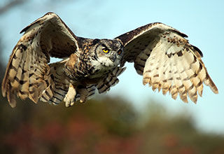 Photo of a great horned owl in flight.