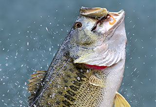 Image of a largemouth bass jumping from the water.