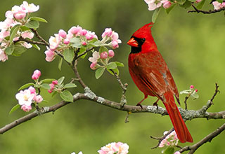 Photo of a northern cardinal among flowers.