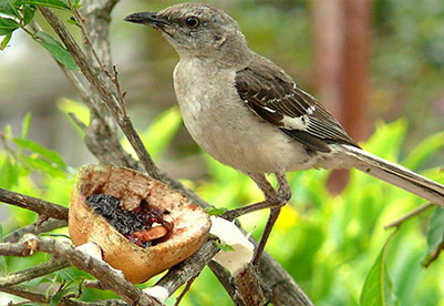 Photo of a Northern Mockingbird