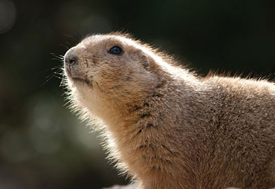 Photo of a Prarie Dog