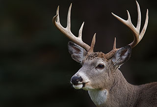 Image of a whitetail deer buck with large antlers.