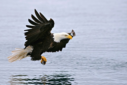 A bald eagle descending over a body of water with feet ready to strike.