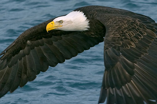 Bald Eagle flying over water.