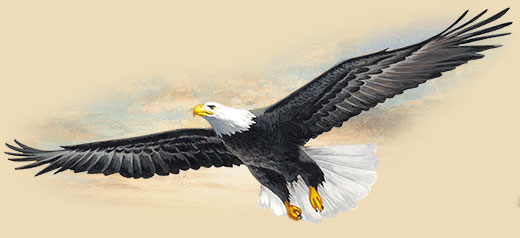 Artwork of a soaring bald eagle.