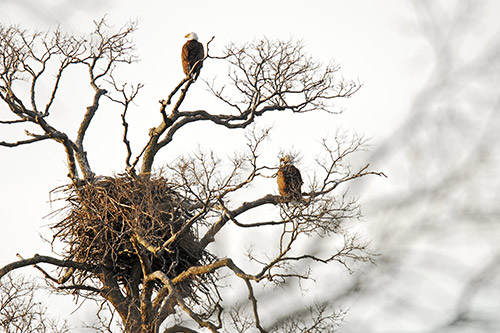 A bald eagle nest in a tree.