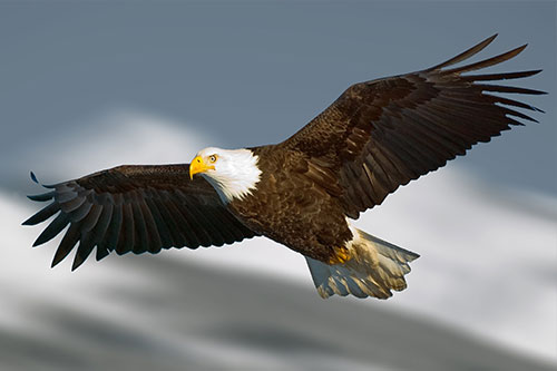 Bald Eagle soaring in front of mountains.