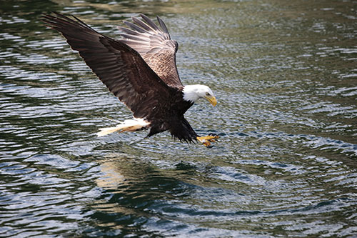 A bald eagle about to touch down on a body of water.